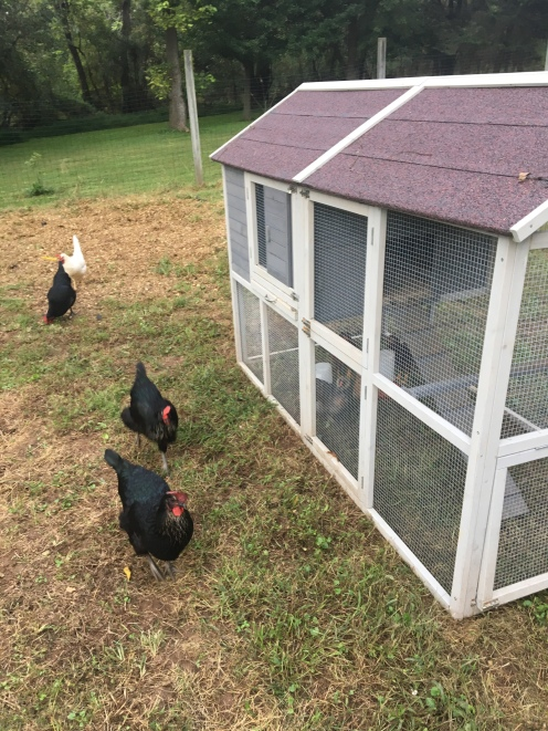 The Hens Checking Out the Chick Coop